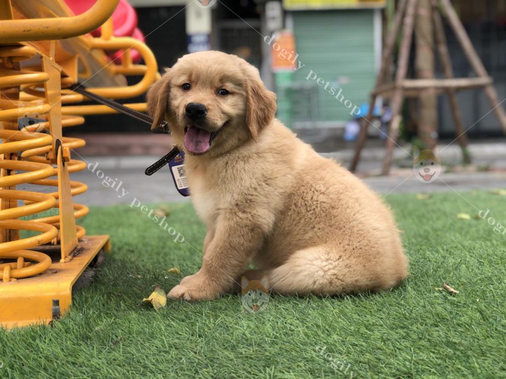 Dogily Petshop có thể cung cấp chó Golden con thuần chủng cho khách hàng trên toàn quốc.