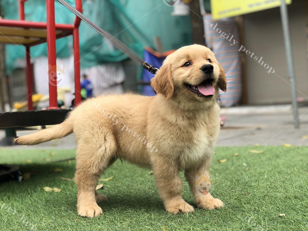 Liên hệ ngay với chúng tôi qua Hotline 0965 086 079 để sở hữu những chú chó Golden con chất lượng, giá tốt nhất.