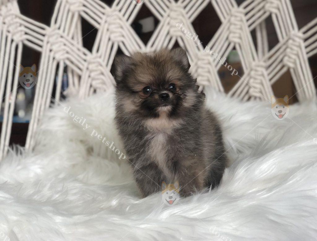 Dogily Petshop có sẵn hàng trăm bé Phốc sóc đủ màu sắc để đáp ứng nhu cầu tìm mua chó con của khách hàng trên toàn quốc