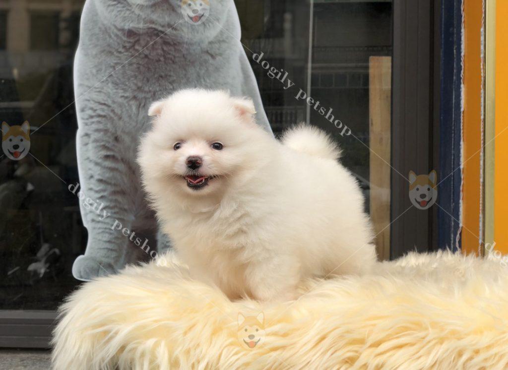 Bé Phốc sóc con thuần chủng màu trắng siêu cute tại Dogily Petshop Nghi Tàm (Hà Nội)