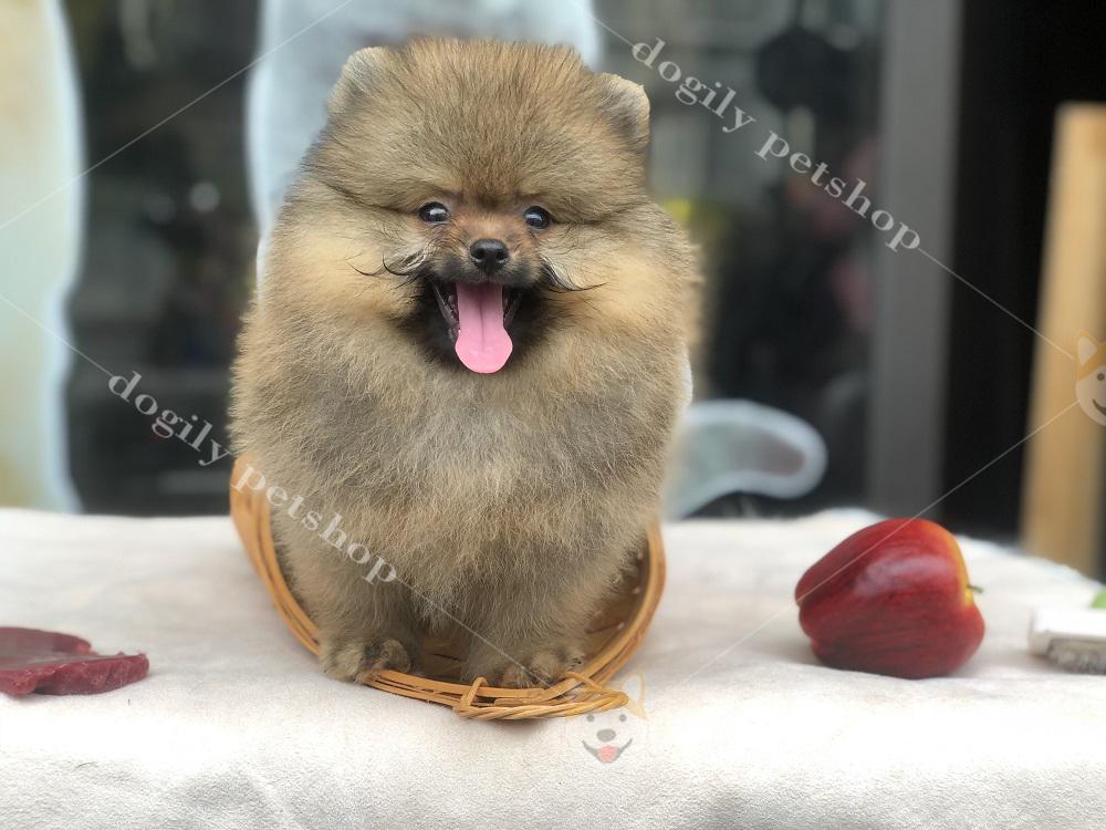 Tesdi - cún Phốc sóc hơn 2 tháng tuổi tại nhà Dogily.