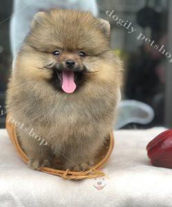 Chó Phốc sóc con thuần chủng