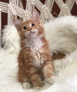 Mua mèo Maine Coon con thuần chủng, giá tốt tại Dogily petshop-2