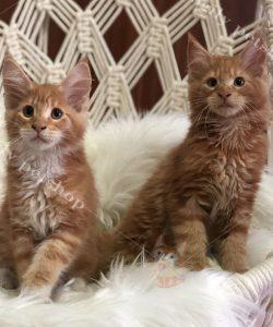 Bộ đôi mèo Maine Coon giá tốt tại Dogily petshop