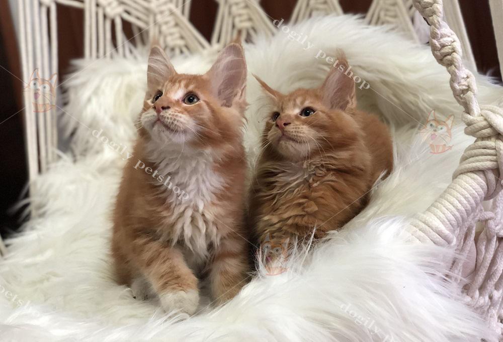 mèo maine coon giá