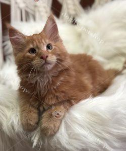 Mua mèo Maine Coon con thuần chủng, giá tốt tại Dogily petshop
