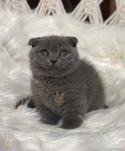 Mèo tai cụp chân ngắn thuần chủng, chất lượng, giá tốt nhất tại Dogily Petshop