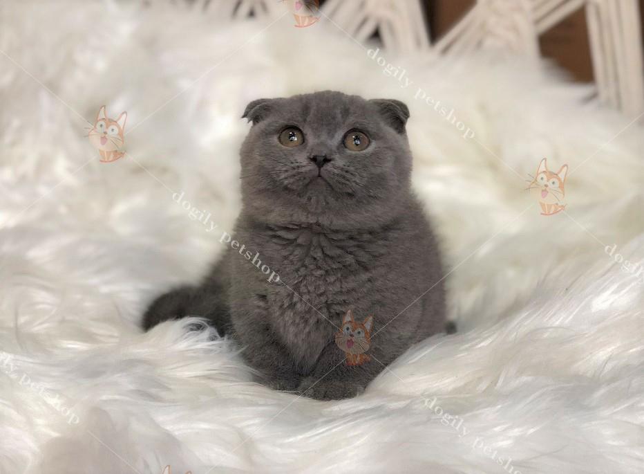 Mèo Munchkin chân ngắn, tai cụp hơn 2 tháng tuổi màu xám xanh.