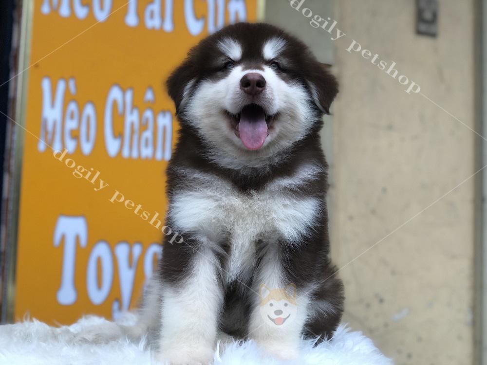 Súp lơ - chú chó Alaska con thuần chủng hơn 2 tháng tuổi vô cùng tinh nghịch