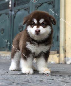 Mua bán chó Alaska con thuần chủng tại nhà Dogily Petshop