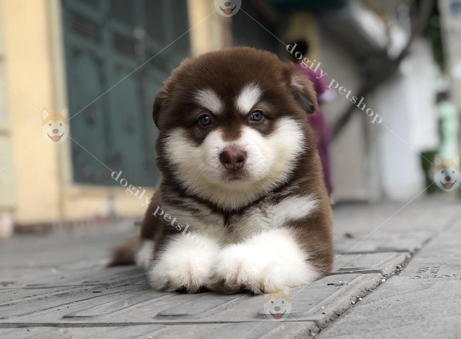 Tìm mua chó Alaska con nhập khẩu, nhân giống trong nước tại Dogily Petshop Hà Nội, Tp.HCM