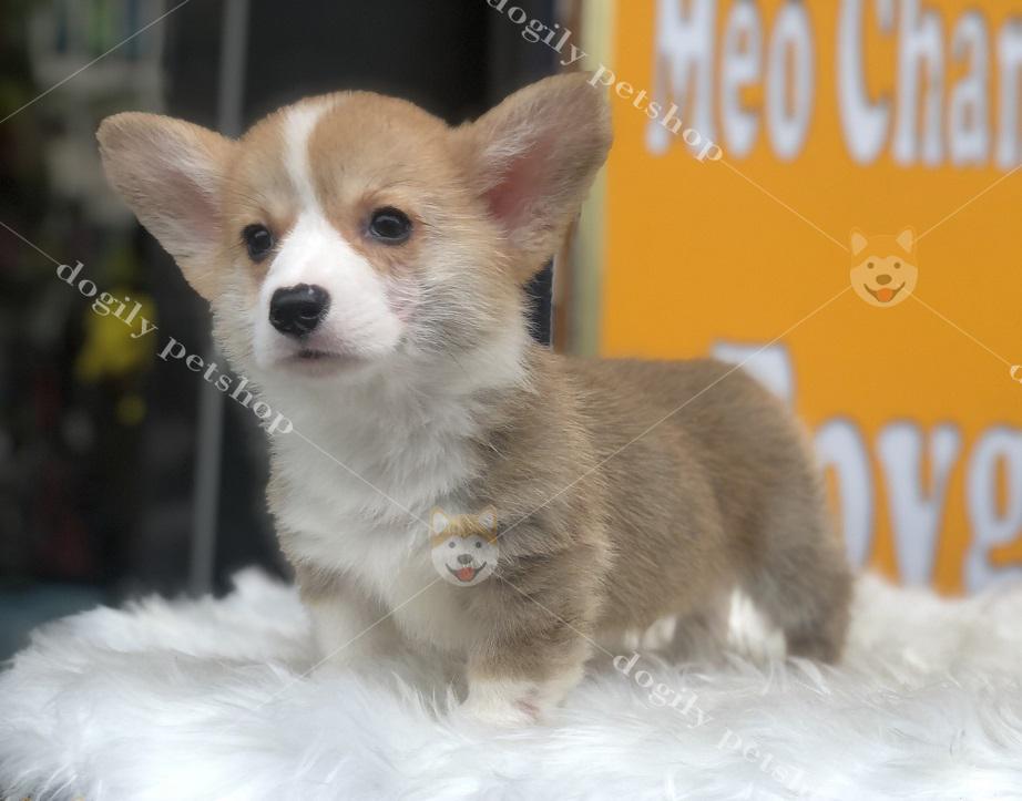 Chó Corgi Pembroke con màu vàng trắng hơn 2 tháng tuổi