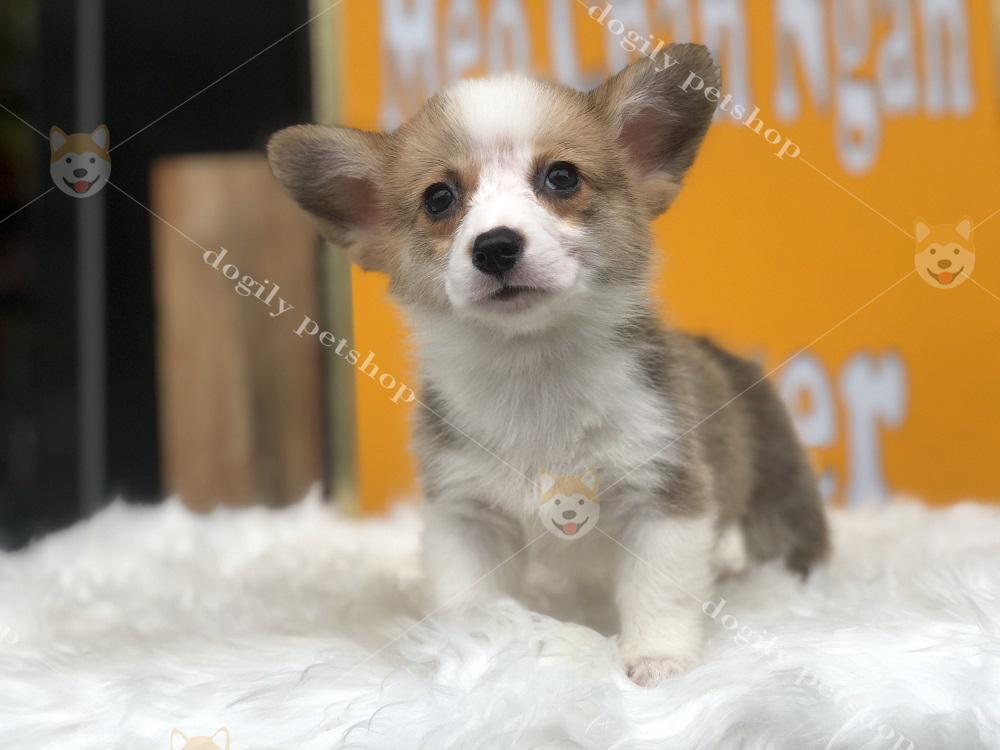 Corgi là giống chó thông minh, hiền lành và cô cùng thân thiện với con người, các vật nuôi khác