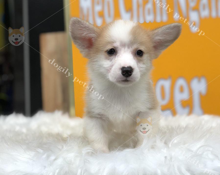 Cún Corgi cái, màu vàng trắng có tại Dogily Petshop Nghi Tàm (Hà Nội)