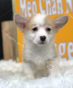 Corgi Pembroke vàng trắng, cái, hơn 2 tháng tuổi