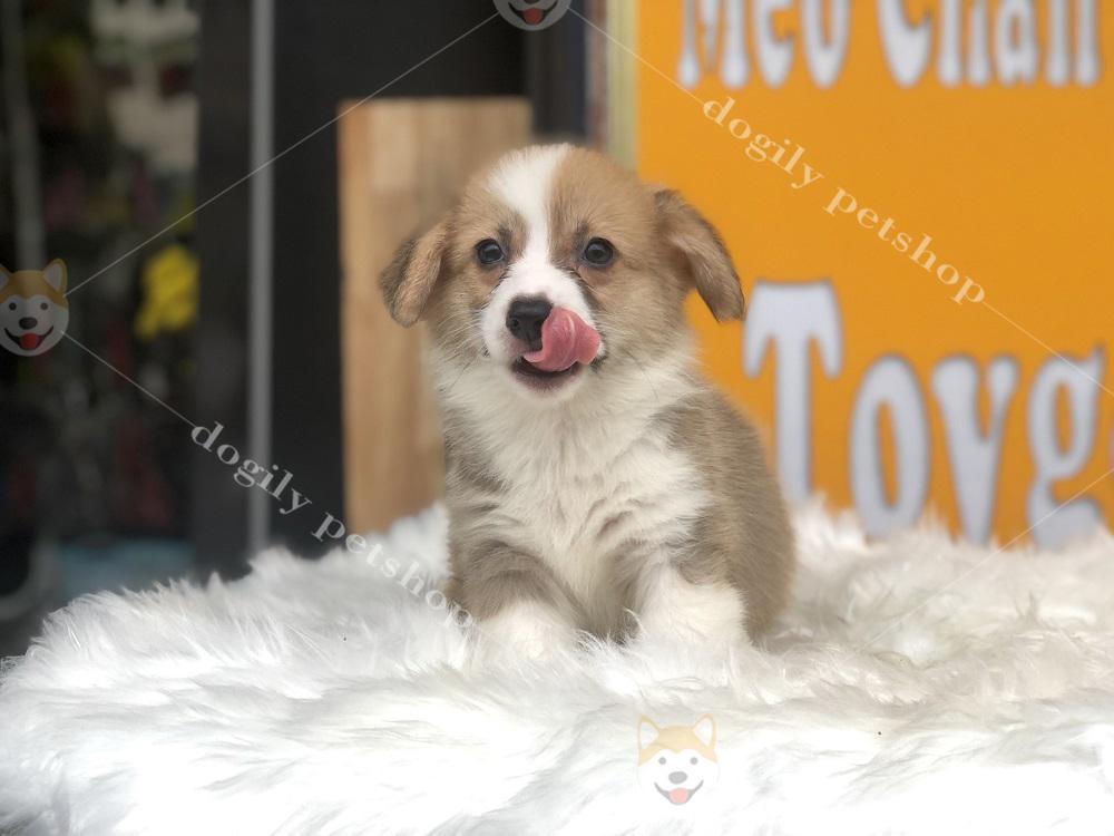 Liên hệ ngay Dogily Petshop để sở hữu ngay những chú chó Corgi con chất lượng, giá tốt nhất.