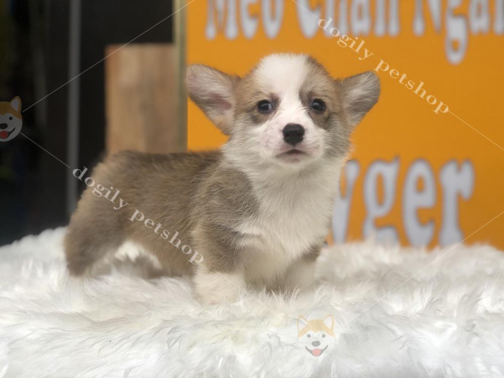 Chó Corgi con thuần chủng màu vàng trắng