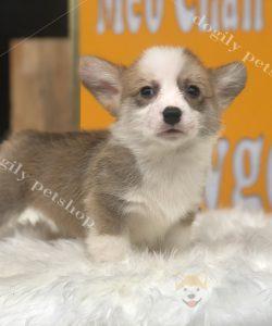 Chó Corgi Pembroke con thuần chủng màu vàng trắng