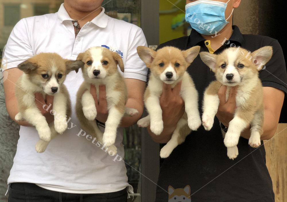 Đàn 4 chú chó Corgi Pembroke con thuần chủng hơn 2 tháng tuổi có tại Dogily Petshop