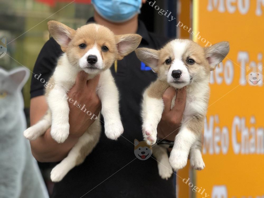 Liên hệ ngay Dogily Petshop qua hotline: 0965 086 079 để sở hữu những chú chó Corgi con thuần chủng, chất lượng, giá tốt nhất.