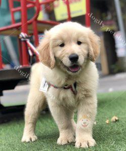 Chó Golden retriever con thuần chủng