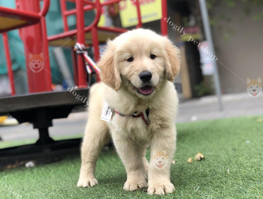 Chó Golden Retriever con tuần củng màu vàng hơn 2 tháng tuổi