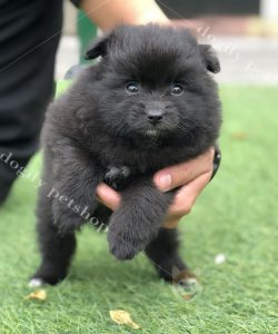 Mua bán chó Phốc sóc con giá tốt tại Dogily Petshop
