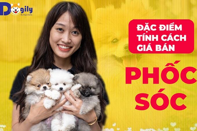 Chó Phốc sóc Mini mặt gấu: đặc điểm, cách nuôi, giá bán. Pomeranian giá rẻ 250k có lai & lừa đảo không?