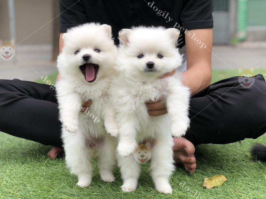 Hình ảnh cặp đôi cún Pomeranian con màu trắng có tại Dogily Petshop Hà Nội, Tp.HCM