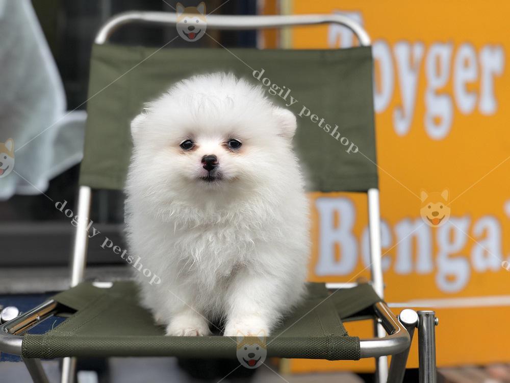Cam - bé cún thuần chủng hơn 2 tháng tuổi có bộ lông trắng tại Dogily Petshop