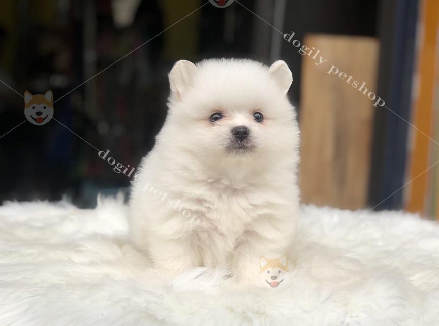 chú chó Phốc sóc con thuần chủng màu trắng