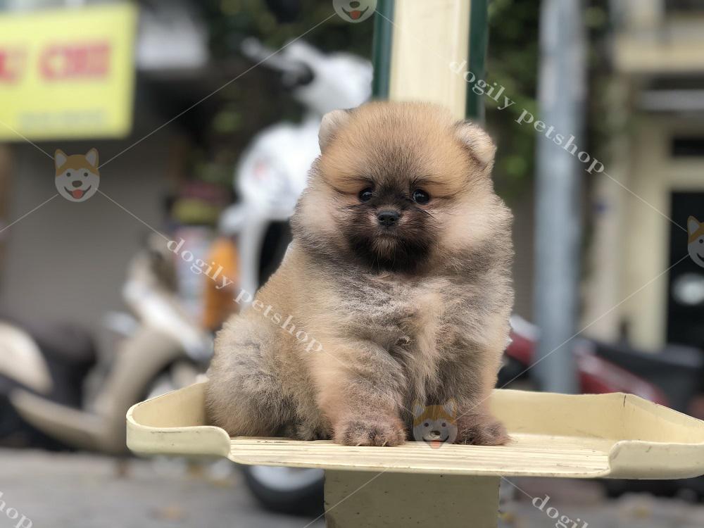 Chó Phốc sóc con thuần chủng màu vàng hơn 2 tháng tuổi