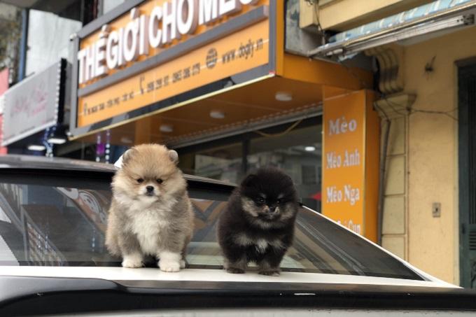 Hai bé Pomeranian Teacup Mini màu Black & Tan và vàng 2 tháng tuổi tại cửa hàng Dogily Pet Shop Nghi Tàm, Hà Nội.