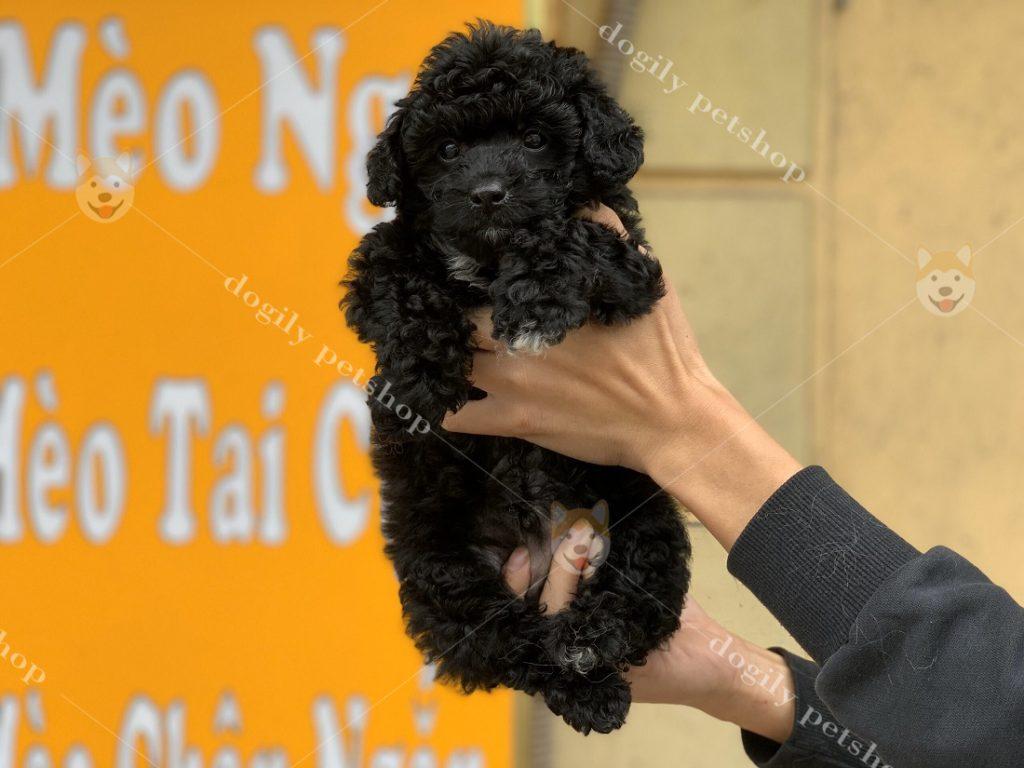 Cún Poodle thuần chủng có tại Dogily Petshop Nghi Tàm (Hà Nội).