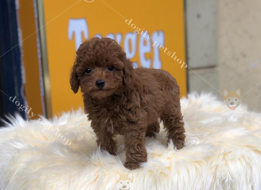 Cún Poodle con thuần chủng màu nâu đỏ