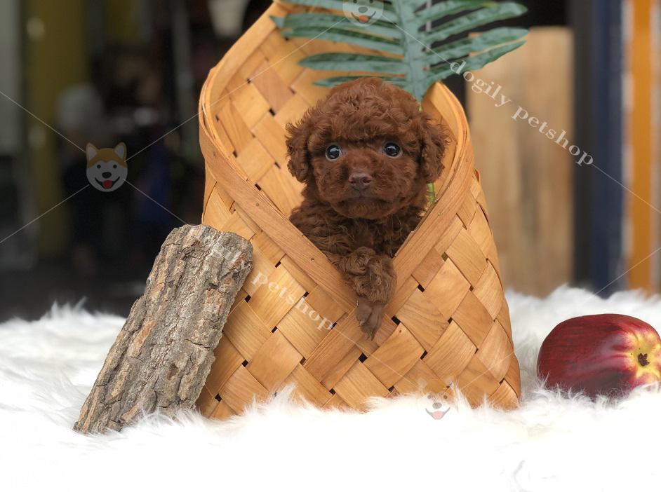 Chó Poodle con thuần chủng màu nâu đỏ