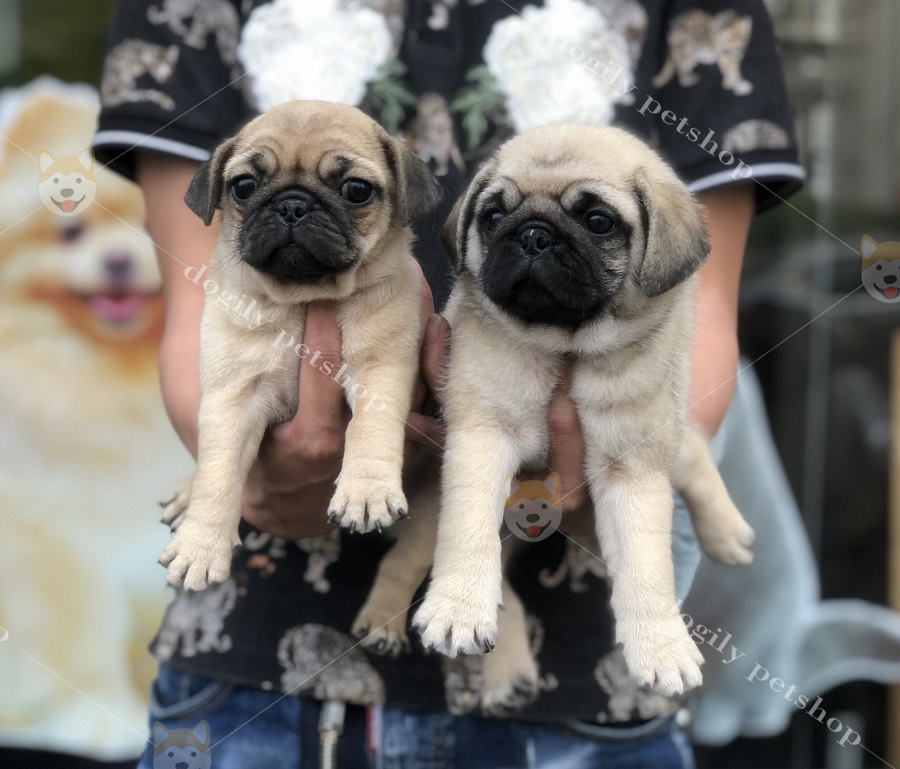 Bán cặp đôi chó Pug con thuần chủng màu vàng có tại Dogily Petshop Hà Nội, Tp.HCM