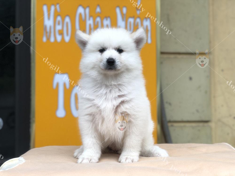 Chó Samoyed con thuần chủng trắng hơn 2 tháng tuổi