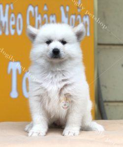 Chó Samoyed con trắng - thuần chủng