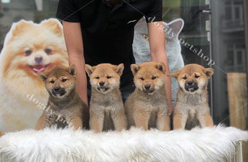 Chó Shiab Inu con thuần chủng màu vàng hơn 2 tháng tuổi