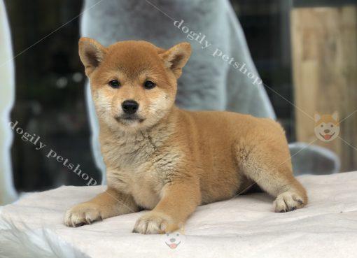Chó Shiba Inu - Dgily Petshop