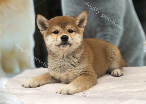 Chó Shiaba inu con thuần chủng màu vàng