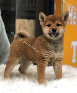 Chó Shiba Inu con thuần chủng màu vàng