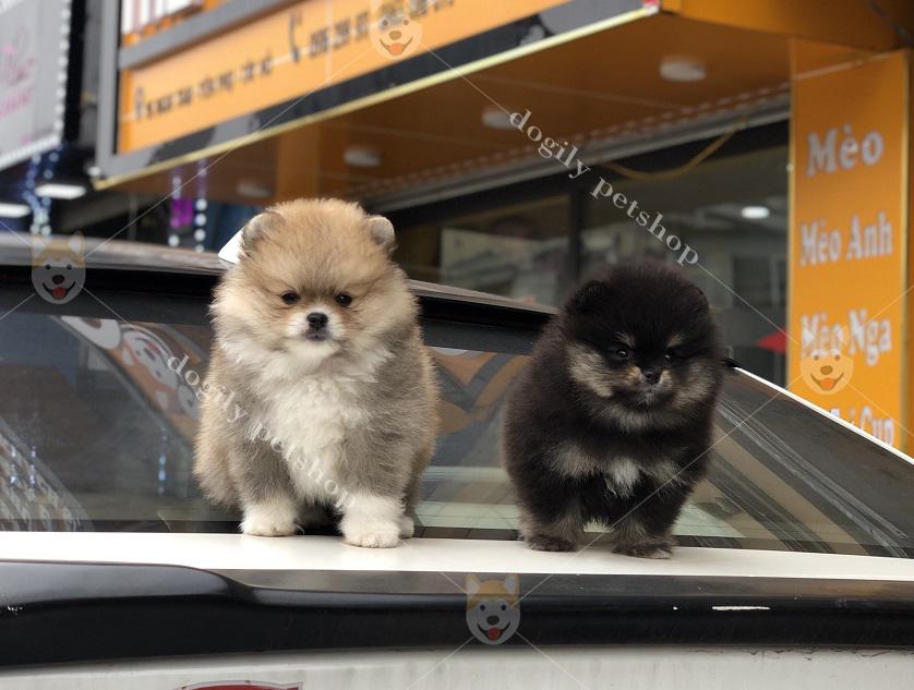 Bộ đôi chó Phốc sóc màu Party, đen hơn 2 tháng tuổi.