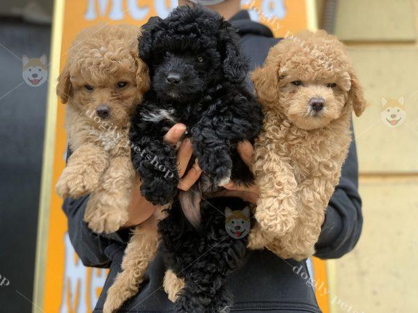 Đàn chó Poodle con thuần chủng hơn 2 tháng tuổi màu đen, vàng mơ tại Dogily Petshop.