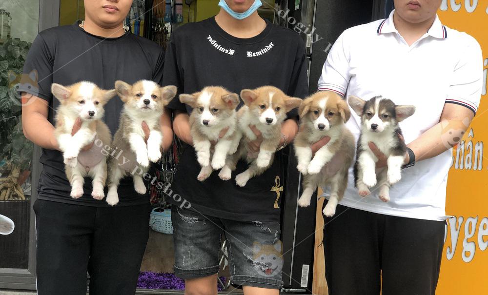 Đàn chó Corgi Pembroke con thuần chủng bán tại hệ thống cửa hàng thú cưng Dogily Petshop Hà Nội, Tp.HCM