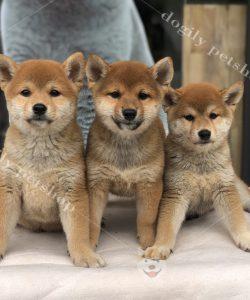 Đàn 3 chú chó Shiba inu con thuần chủng