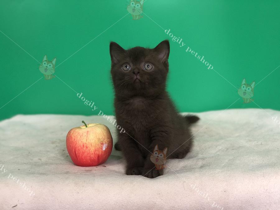 Mèo Anh lông ngắn con thuần chủng màu Chocolater