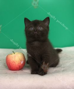 Mèo anh lông ngắn con thuần chủng màu Chocolate