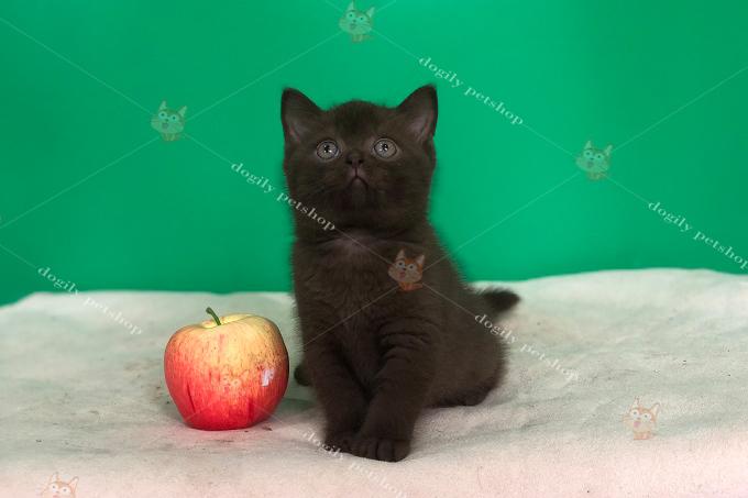 Bé mèo Chocolate 3 tháng tuổi